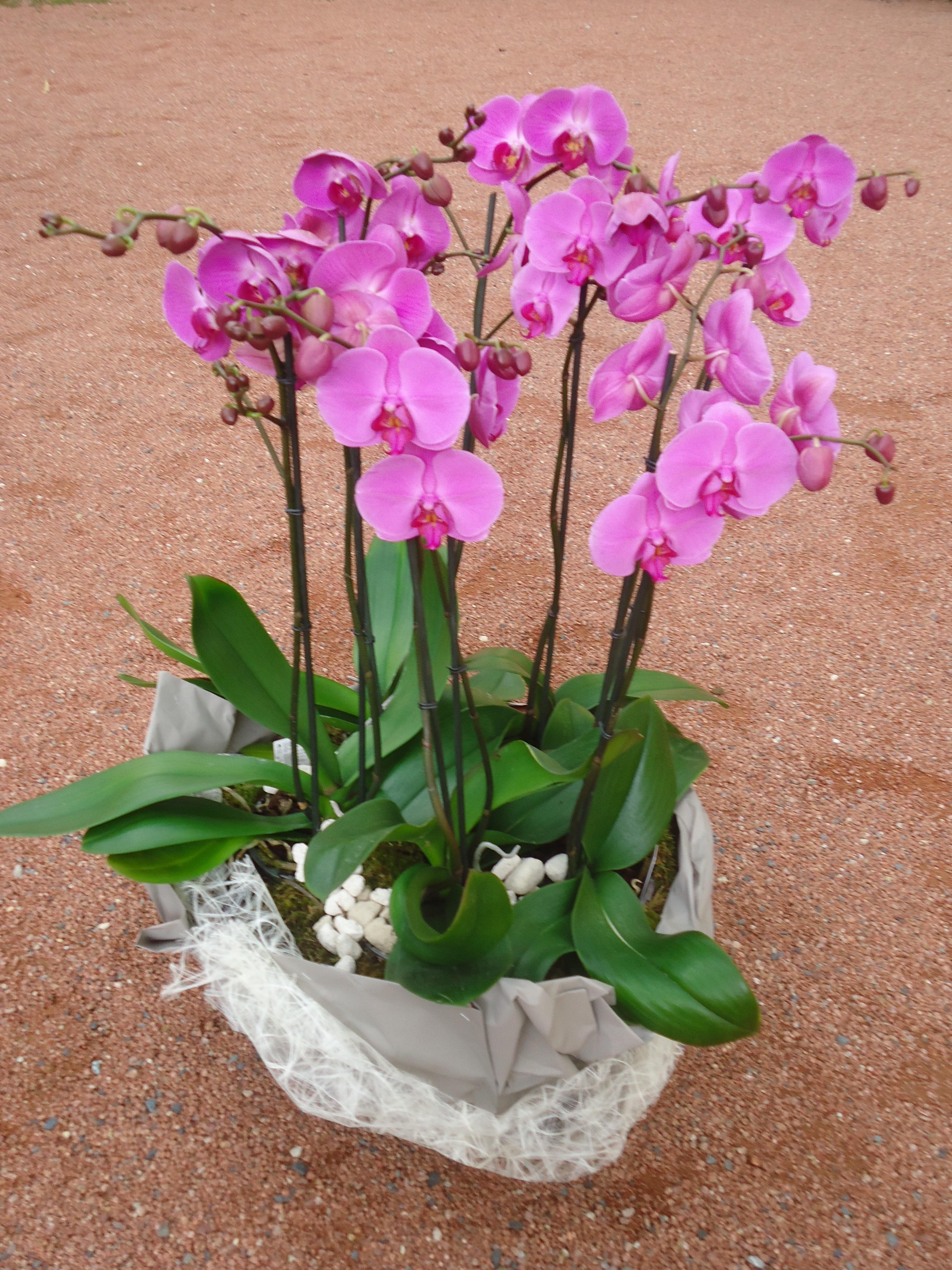Composition d orchid es plantes d 39 ochid es assemblage d - Doit on couper les tiges des orchidees ...